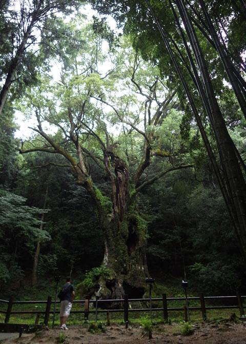 九州お泊りデートにおススメ・武雄神社の3000年の巨樹